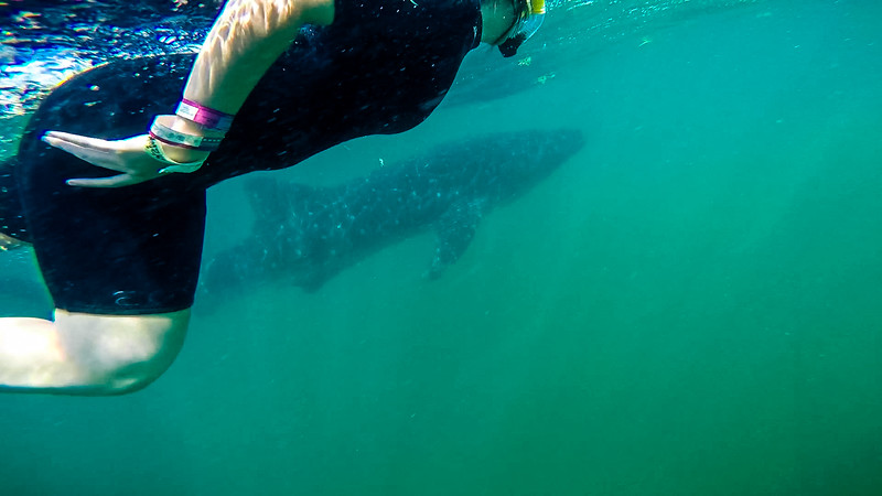 Whale Shark for Export 1028.jpg