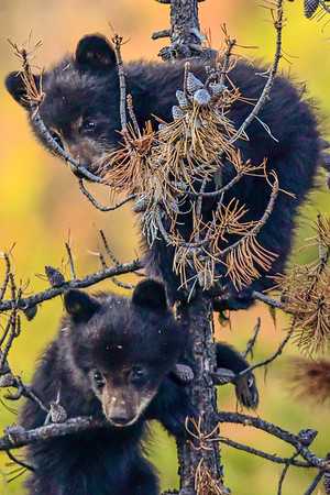 5-26-19 Black Bear Cubs In A Tree - Jasper Ab