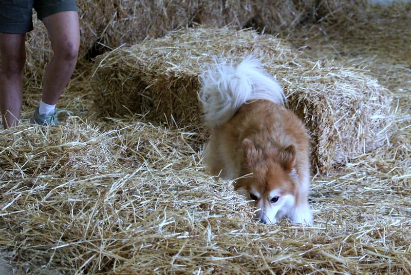20160710 Winnegamie Barn Hunt Trial (4).JPG