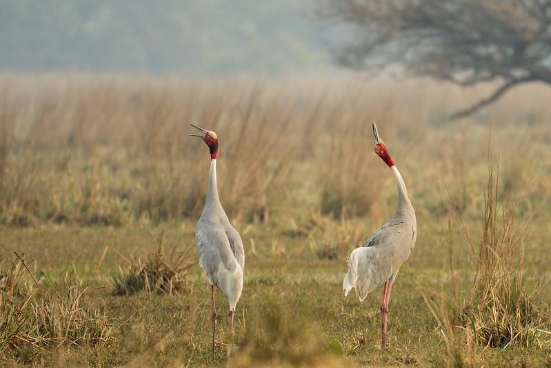 Sarus-Cranes-calling-bharatpur3.jpg