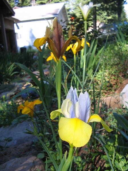 07_10_06 Bulb Iris Bed