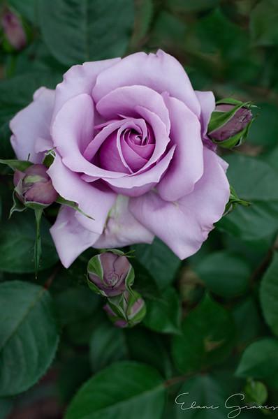 Pruple Rose_1