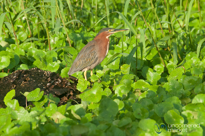 Green Heron - Tortuguero Canals, Costa Rica