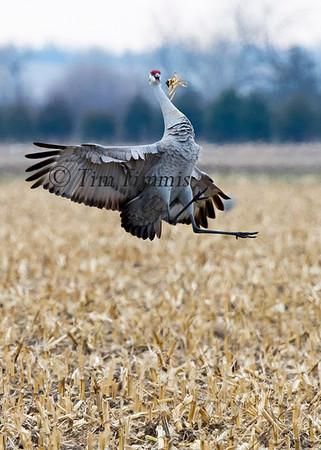 Nebraska Sandhill Cranes 2015