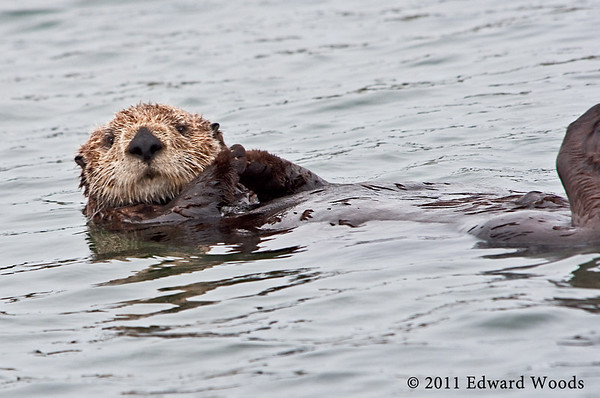 Photos of Sea Otters and Wildlife in Elkhorn Slough