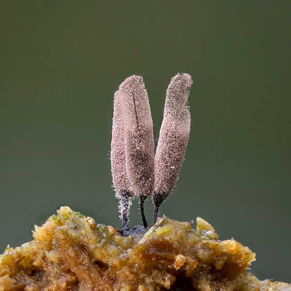 Stemonitis species