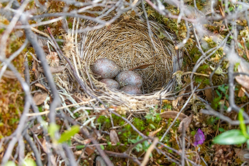 White-throated Sparrow nest Toivola Swamp off CR5 Sax-Zim Bog MN  IMG_0739.jpg