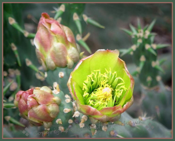 Bloomin' Cactus - Judith Sparhawk