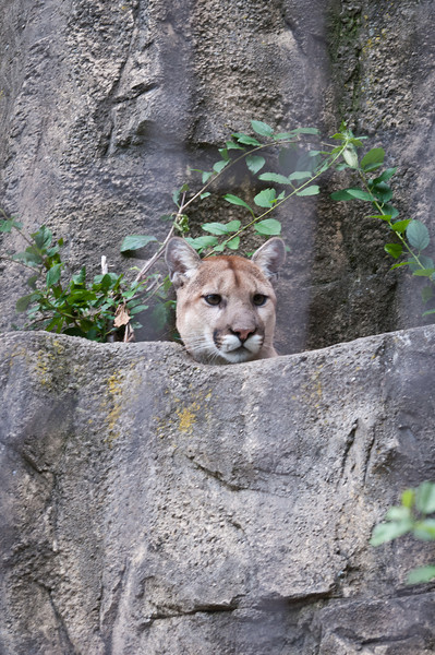 Cougar, visible fence