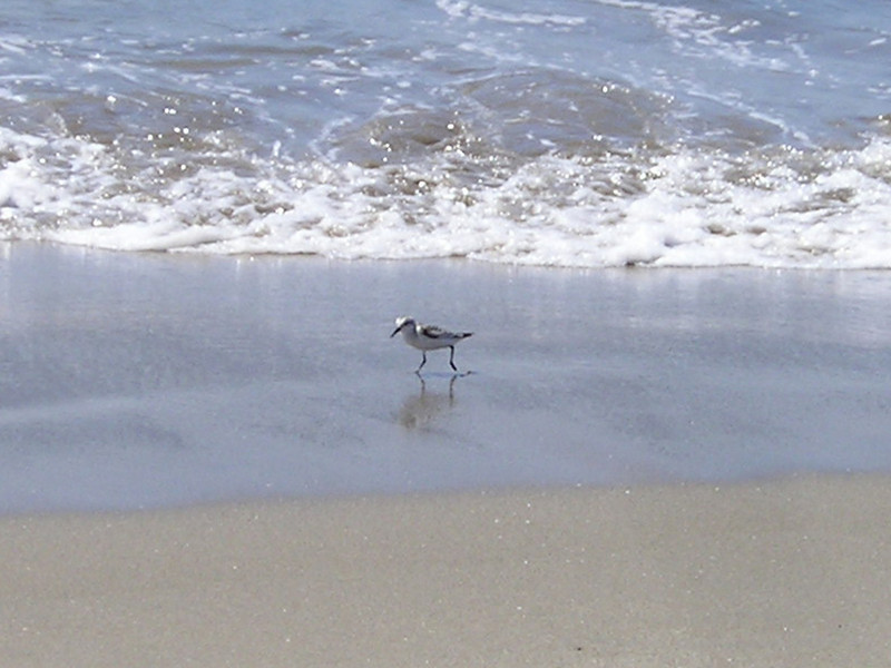 A cute little teeny weeny beach piper. Kept pulling little teeny weeny wriggling things out of the sand and sucking them down.