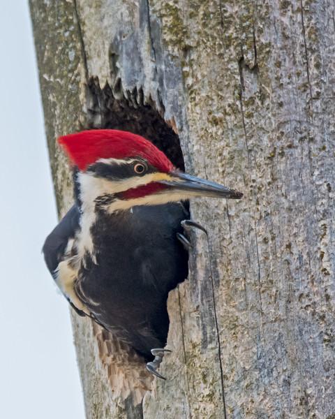 Pilleated Woodpecker