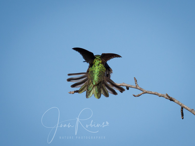 Anna's Hummingbird take-off