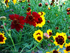 blanket flowers in two colors