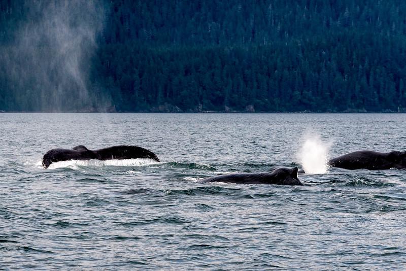 DSC 079 humpbacks1.jpg