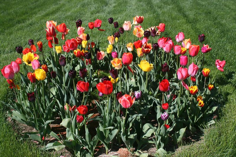 Tulips 2011 010.JPG
