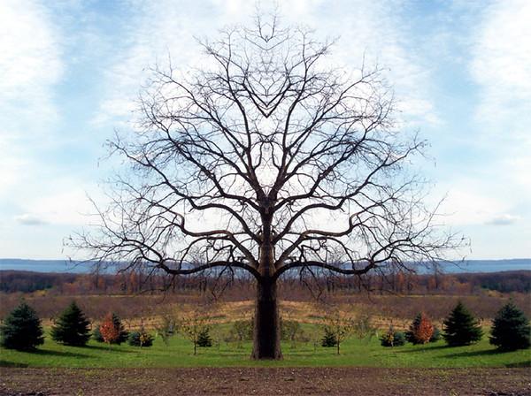 Symma Trees