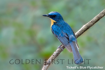 Tickell's Blue Flycatcher, Todoba, India