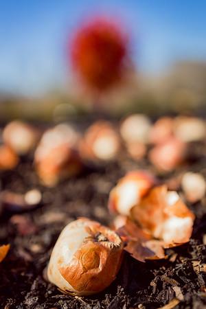 Planting Tulip Bulbs at Cheekwood