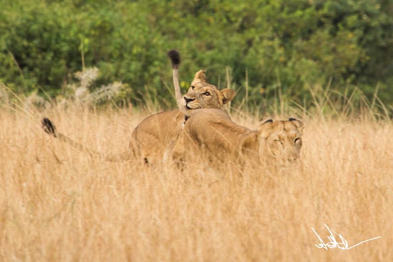 Lions Queen Elizabeth - Ssig-1.jpg