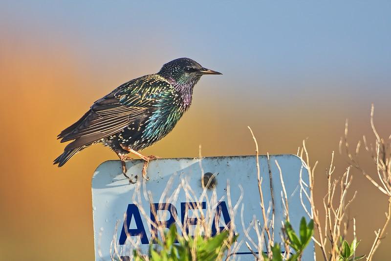 European Starling (non-breeding)