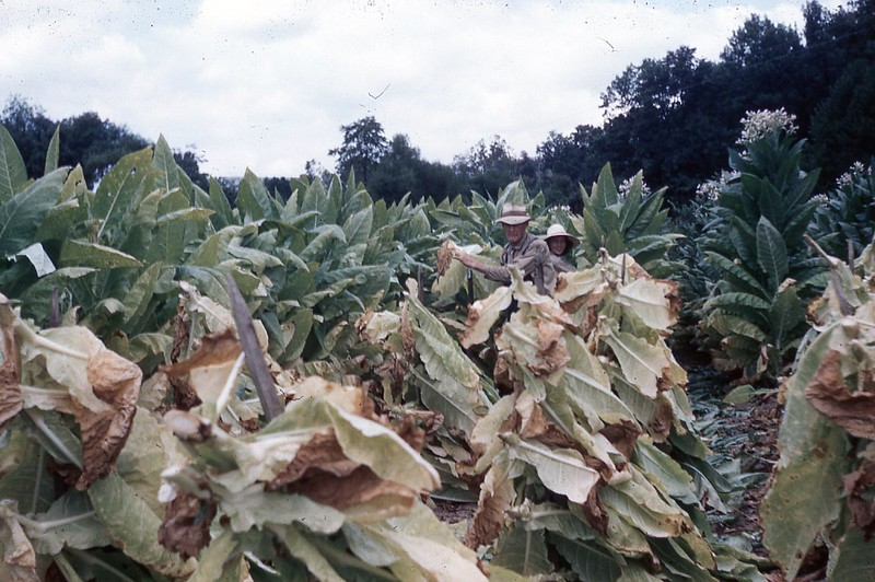 1954 - Cutting tobacco.jpg