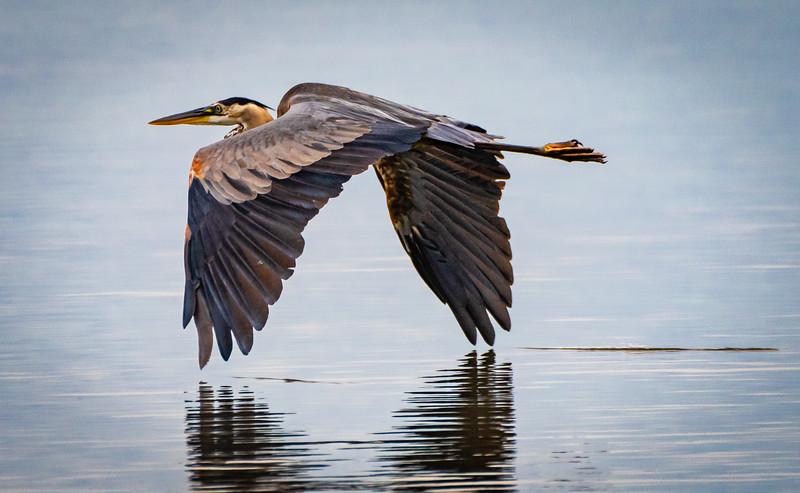 Blue Heron skimming water 060521-.jpg