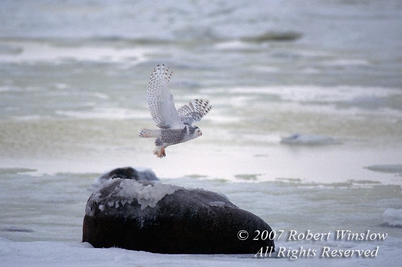 Snowy Owl, Nyctea scandiaca, Hudson Bay, Manitoba Canada, North America