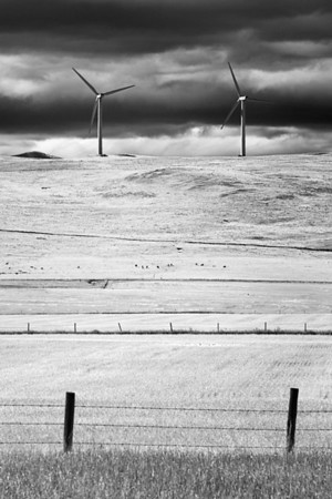 Cows out to pasture in front of two massive wind mills.  Alberta Canada.