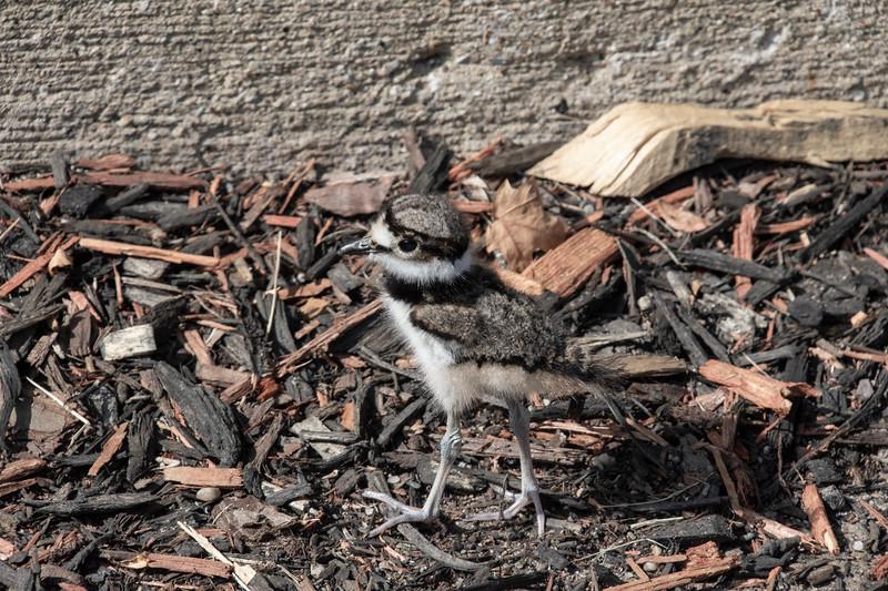 Killdeer-hatchling-2daysold-Lowes.jpg
