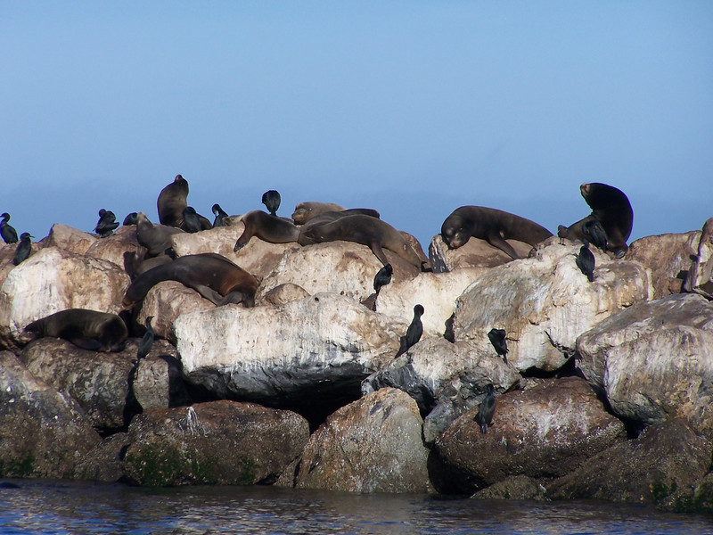 California Sea Lions and cormorants on rock sea wall in Monterey Bay