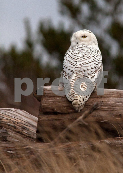 Snowy owl 5530c.jpg