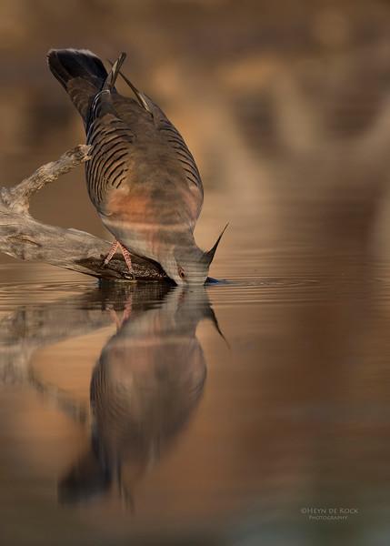 Crested Pigeon, Bowra, Cunnamulla, QLD, Aus, Sept 2017-1.jpg