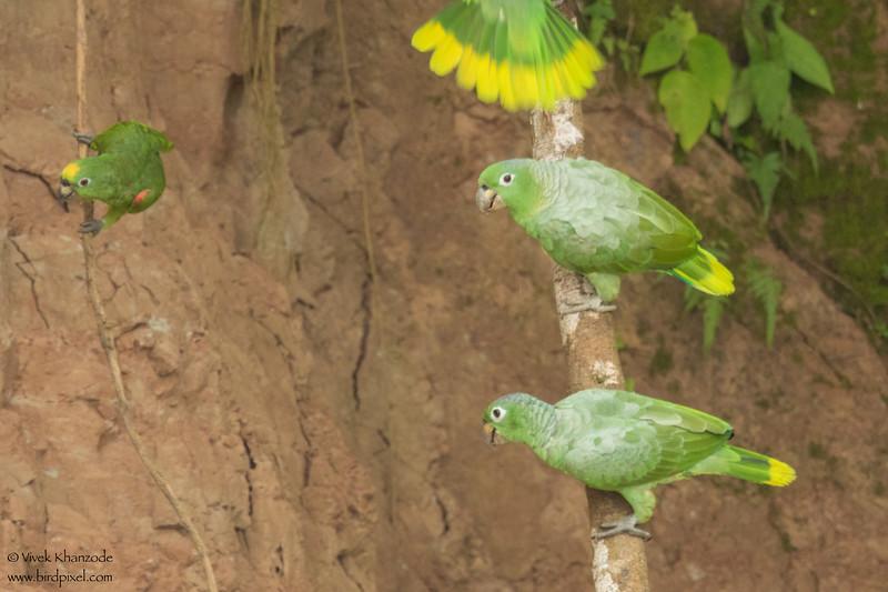 Mealy Parrot - Amazon, Ecuador