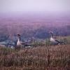 Geese - Knokke-Heist - The Zwin