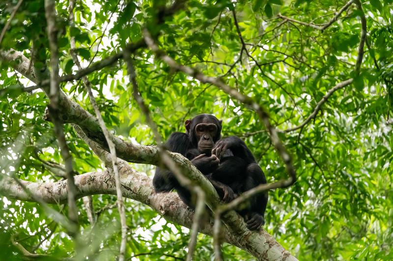 Uganda_T_Chimps-1090.jpg