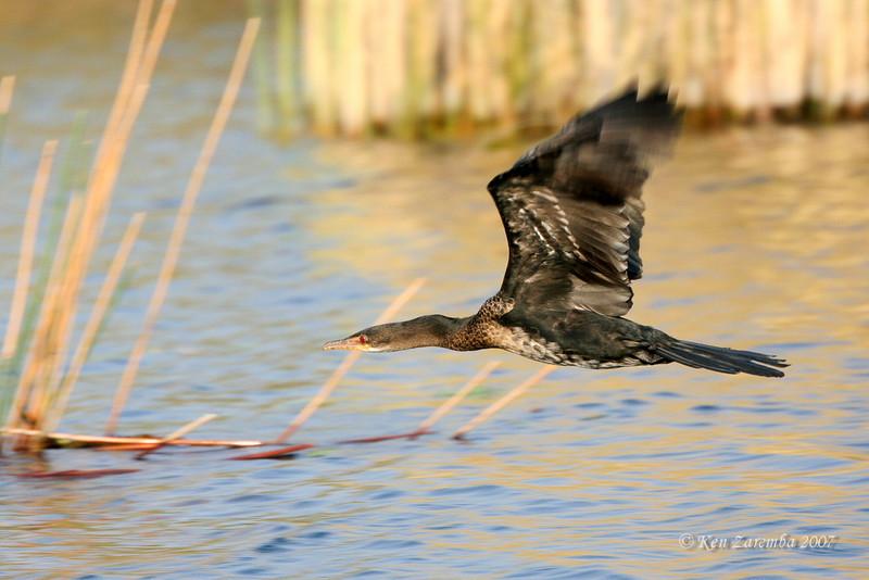 Reed Cormorant, Moremi Game reserve, Okavango Delta, Botswana