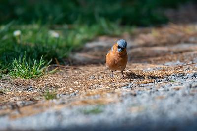 Common Chaffinch [Fringilla coelebs]