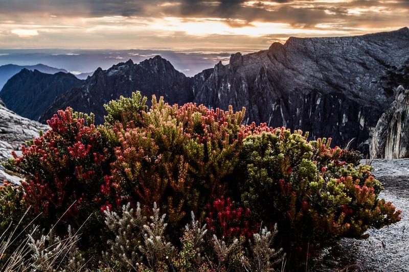 Plants close to the summit of Mount Kinabalu, Borneo (4095m)