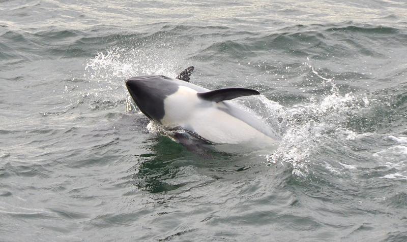 2012 Karukinka rolling porpoise.jpg