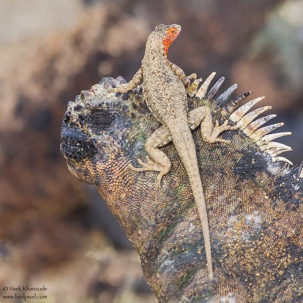 Lava Lizard on a Marine Iguana - Punta Espinosa, Isla Fernandina, Galapagos, Ecuador
