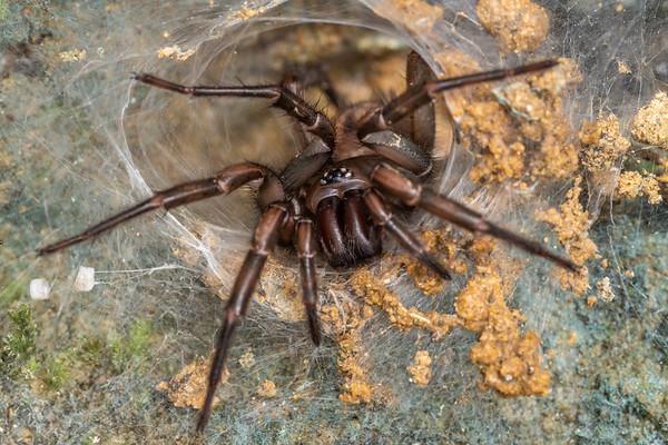 Hexathele hochstetteri - Banded tunnelweb spider