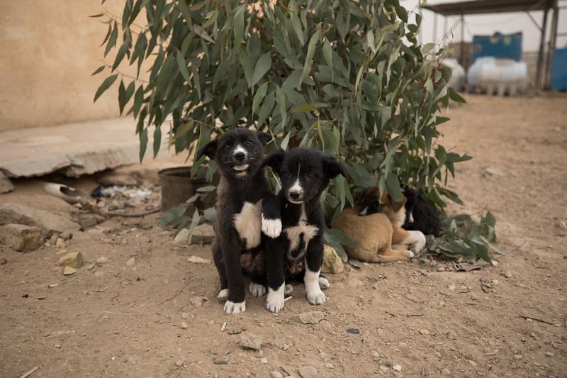 Puppies at Afak.