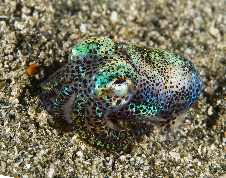 squid bobtail0112 (1).jpg