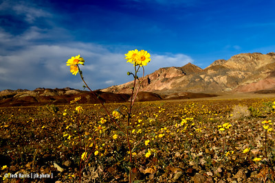 wildflowers  / death valley / february 2016