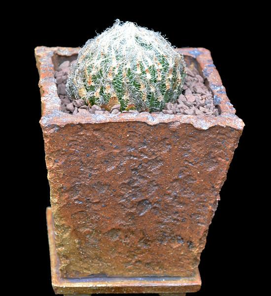 Haworthia arachnoidea v setata (S. Ladismit)