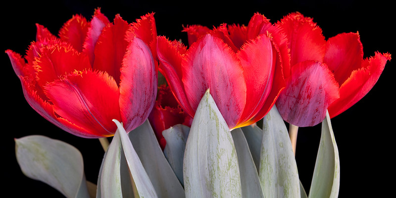 red-tulips-10x20.jpg