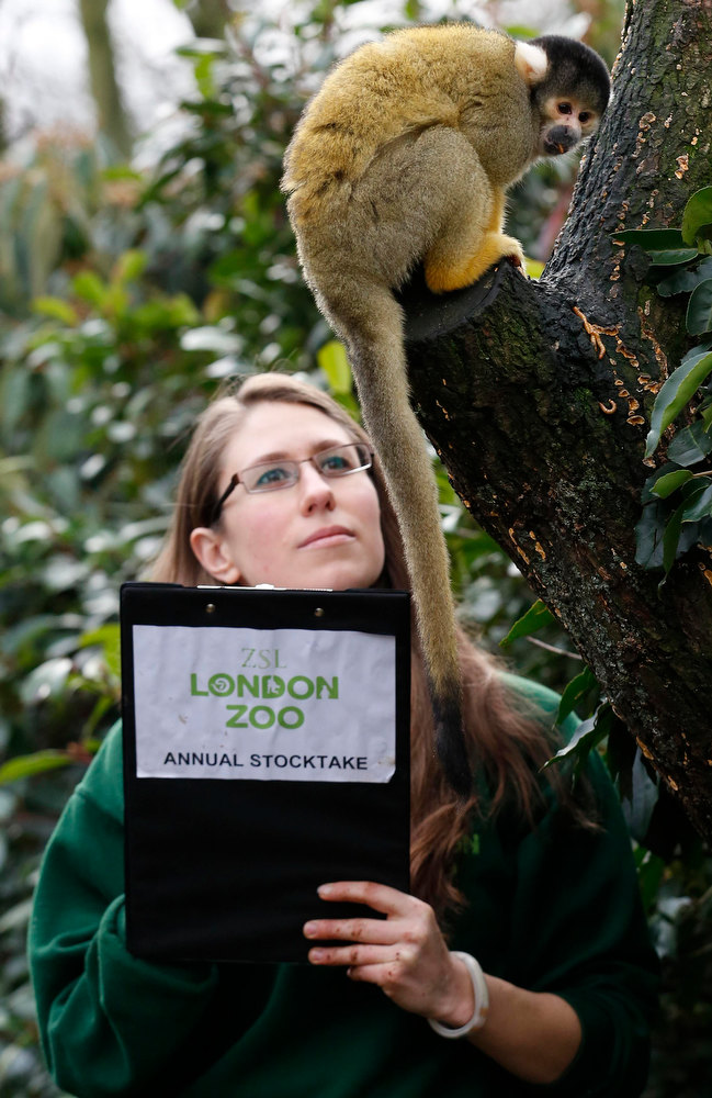 Description of . Zoo keeper Kate Sanders poses with a Squirrel Monkey during the annual stock take at London Zoo January 3, 2013. The compulsory count of more than 17,500 animals is noted annually as part of the zoo's licence, and the information is logged with the International Species Information System (ISIS), used for managing international breeding programs of endangered animals.  REUTERS/Luke MacGregor