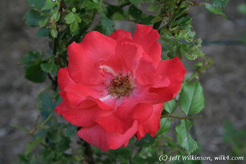 #4315 Rose, mini