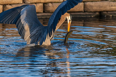 Great Blue Heron Attack!