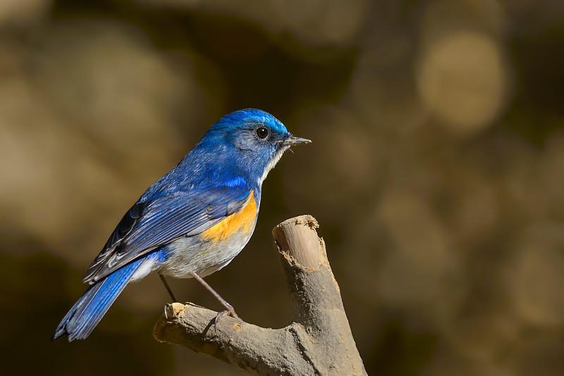 Himalayan-Bluetail.jpg